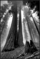 Before and After - Life of Giant Sequoias